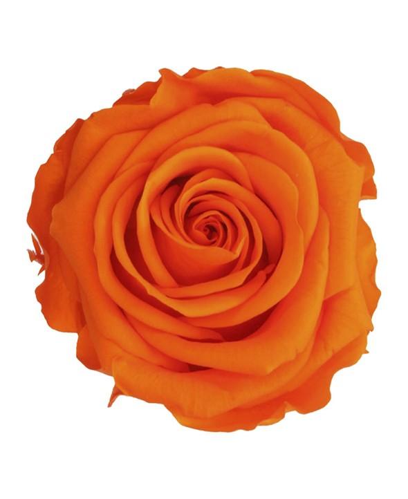 Rose Éternelle Orange • Livraison à Domicile