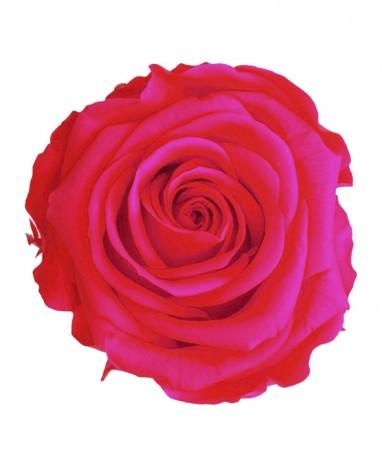 Rose Éternelle rose vif • Livraison à domicile  - Max le Fleuriste